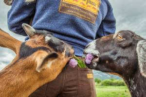 Goats enjoy a back -pocket snack from Red Ants Pants.